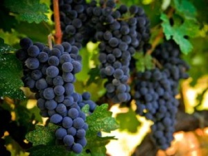 ripe cabernet grapes ready for harvest