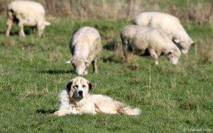 flock-guardian-dog-8